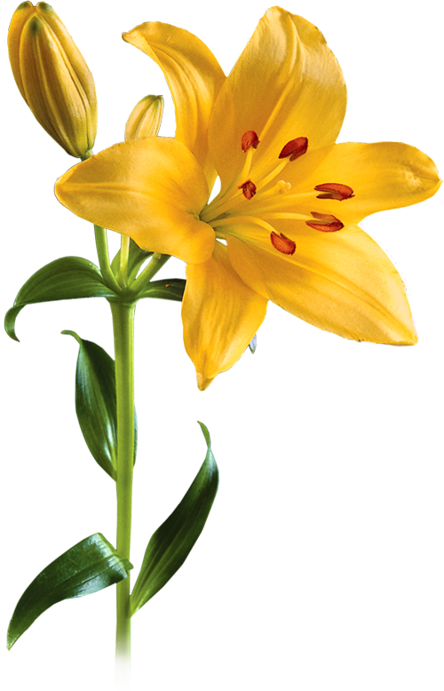 Asiatic Lily Image