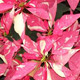 Shimmer Pink Poinsettia